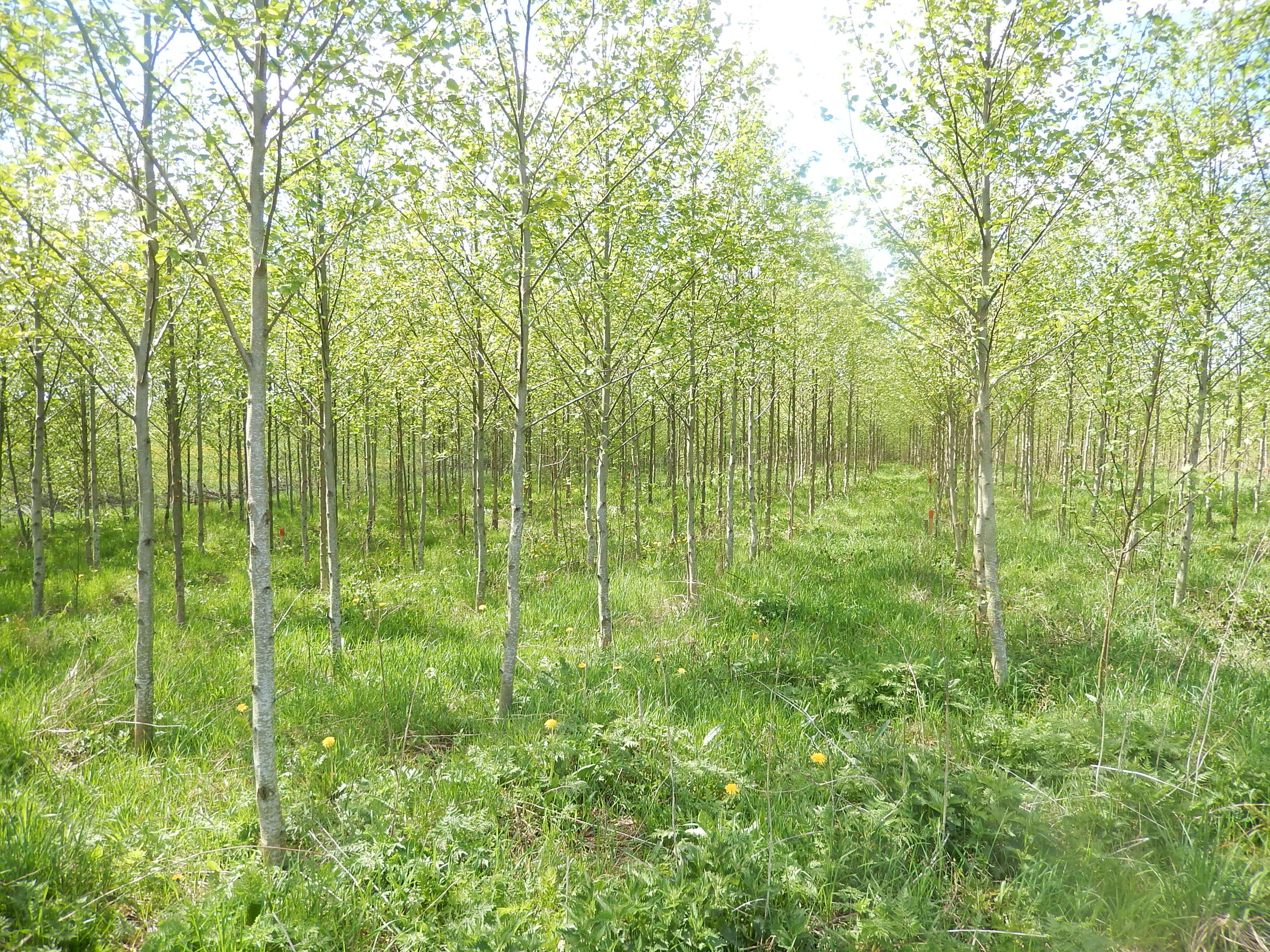 Meža atjaunošana un kopšana