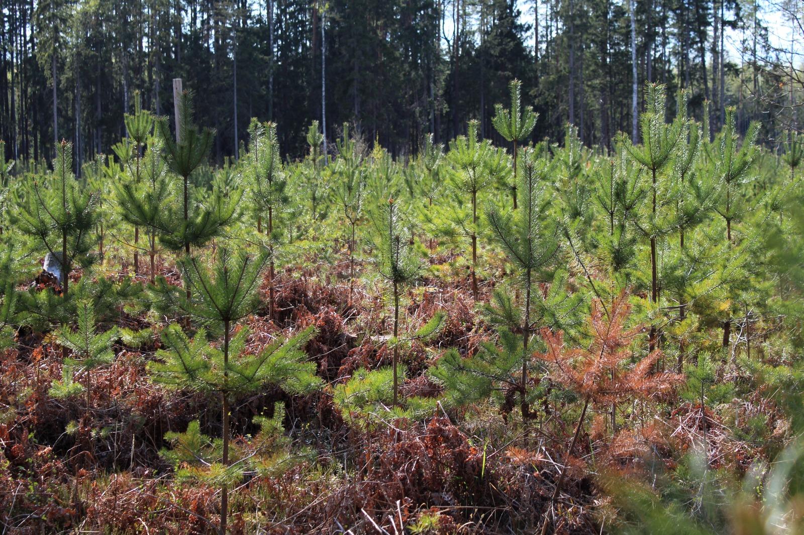 Meža atjaunošana un ieaudzēšana CO2 piesaistei, meža reproduktīvais materiāls